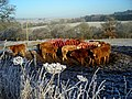 Cattle Feeding in Frosty Field - geograph.org.uk - 638413.jpg