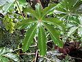 Cecropia obtusifolia (11033557465).jpg