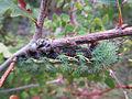 Cecrops silkmoth in Mazatzal.jpg