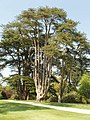 Cedar of Lebanon at Blenheim - geograph.org.uk - 796811.jpg