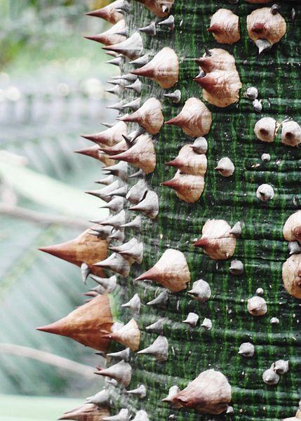 Arquivo: Ceiba speciosa - Palmengarten Frankfurt.jpg