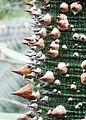 Ceiba speciosa - Palmengarten Frankfurt.jpg
