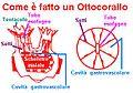 Celenterati octocoralli.jpg