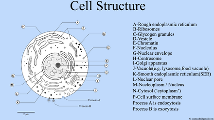 Cell Structure , Cell Diagram.png