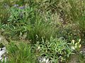 Centaurea montana PID1991-2.jpg