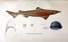 A drawing of a gulper shark morphology including teeth and jaw.