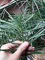 Cephalotaxus sinensis 粗榧 (2).jpg