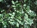 Ceratonia siliqua 1.JPG