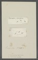 Cercaria gibba - - Print - Iconographia Zoologica - Special Collections University of Amsterdam - UBAINV0274 105 13 0014.tif