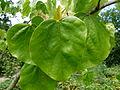 Cercis chinensis feuilles.JPG