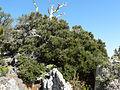 Cercocarpus intricatus 13.jpg