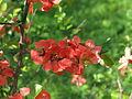 Chaenomeles japonica flowers 02.JPG