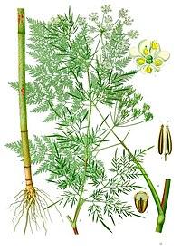 Chaerophyllum bulbosum - Köhler–s Medizinal-Pflanzen-177