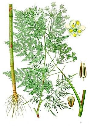 Apiaceae - Image: Chaerophyllum bulbosum Köhler–s Medizinal Pflanzen 177