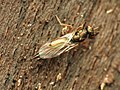 Chalcid Wasp (34396557176).jpg