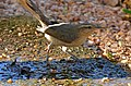 Chalk-browed Mockingbird (Mimus saturninus) coming to drink ... (31479524111).jpg