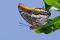 Charaxes jasius - Two-tailed pasha.jpg