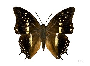 Charaxes solon - Top view