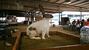 Rhinelander rabbit - This is a black junior buck Rhinelander named Checker taken by Christa Deines.