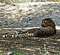 Cheetah, Living Desert 3-15 (16173980973).jpg
