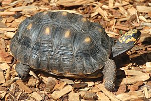 Red-footed tortoise - Red-footed tortoise at Loro Parque
