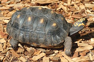 Red-footed tortoise species of reptile