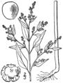 Chenopodium berlandieri var boscianum BB-1913.png