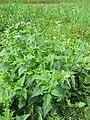 Chenopodium hybridum plant (8).jpg