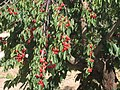 Cherry Tree Leb New.jpg