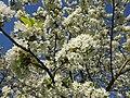 Cherry blossom, Ehrenbach.jpg