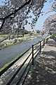 Cherry blossom @ Kyoto - panoramio.jpg
