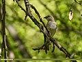Chestnut-Shouldered Sparrow (Petronia xanthocollis) (27844703528).jpg