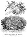 Chicorée frisée d'hiver Vilmorin-Andrieux 1904.png