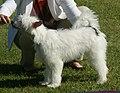 Chinese Crested Powder Puff white.jpg
