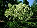 Chionanthus virginicus - Missouri Botanical Garden.jpg