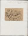 Chlamydosaurus kingii - 1700-1880 - Print - Iconographia Zoologica - Special Collections University of Amsterdam - UBA01 IZ12700057.tif
