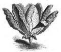 Chou Milan à tête longue Vilmorin-Andrieux 1883.png