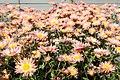 Chrysanthemum Dee Samba 2zz.jpg