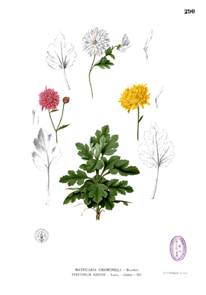 Description de l'image Chrysanthemum_morifolium_Blanco2.290.png.