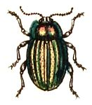 Chrysolina.cerealis.-.calwer.44.09.jpg