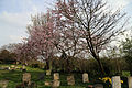 Church of St Thomas, Upshire, Essex, England - graveyard and cherry at south.jpg