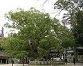 Cinnamomum camphora20050314.jpg