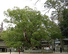 An ancient camphor tree, estimated to be over 1000 years old, in Japan