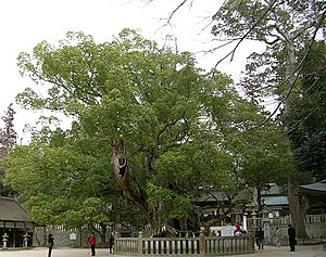 Cinnamomum camphora - An ancient camphor tree (estimated to be over 1,000 years old) in Japan