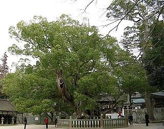 <i>Cinnamomum camphora</i> species of plant