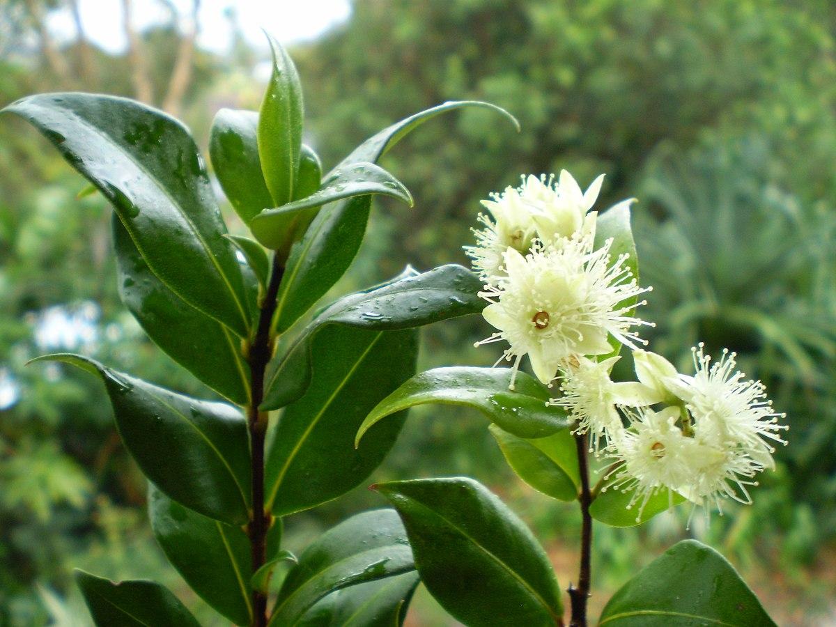 White Star Flower Bush
