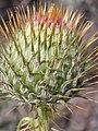 Cirsium canovirens (C. subniveum) (4413272169).jpg