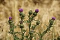 Cirsium vulgare-4467.jpg