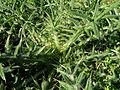 Cirsium vulgare spines1 (12400971663).jpg