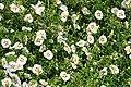 Ciste ladanifère (Arboretum, Chatenay-Malabry) (47937163572).jpg